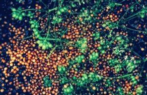 Macerace botanicals v destilátu