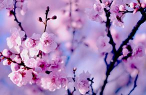 Květy Sakkury